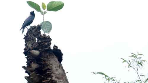 মরা খেঁজুর গাছের মাথায় জীবিত বটগাছ। মরা গাছের মাথায় এসে আশ্রয় নিলো একটি কাক। ছবিটি তুলেছেন ধূমকেতু নিউজের ফটো সাংবাদিক শামীম।